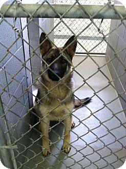 German Shepherd Dog Dog for adoption in Fort Riley, Kansas - Cree