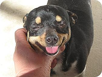 Chihuahua Dog for adoption in Sherman Oaks, California - Chica