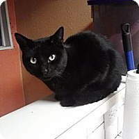 Adopt A Pet :: Midnite - Hurst, TX