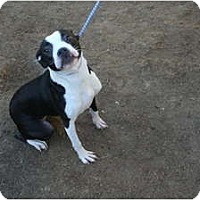 Adopt A Pet :: Apple - Whitter, CA