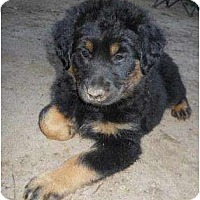 Adopt A Pet :: Rachel - Cumming, GA