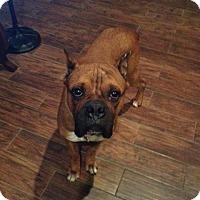 Adopt A Pet :: Bock - Springfield, MO
