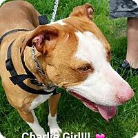 Adopt A Pet :: CHARLIE- NEEDS FOSTER!! - Birmingham, MI