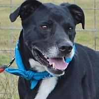 Labrador Retriever/Boxer Mix Dog for adoption in Liverpool, Texas - TOBY KEITH