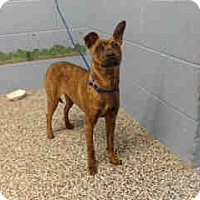 Adopt A Pet :: URGENT ON 2/12  San Bernardino - San Bernardino, CA