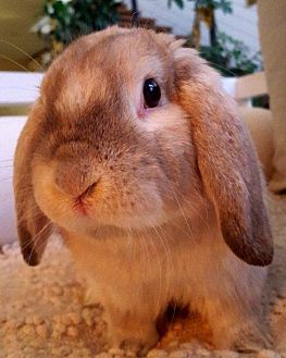 Lop, Holland Mix for adoption in Los Angeles, California - Lover Jr