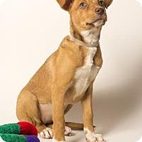 Adopt A Pet :: Angel - Sudbury, MA
