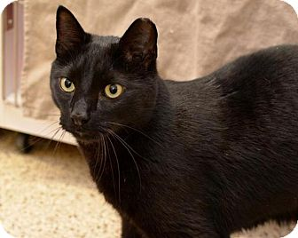 Domestic Shorthair Cat for adoption in Scituate, Massachusetts - Orion