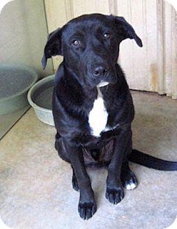 Labrador Retriever Mix Dog for adoption in Tahlequah, Oklahoma - Wellington