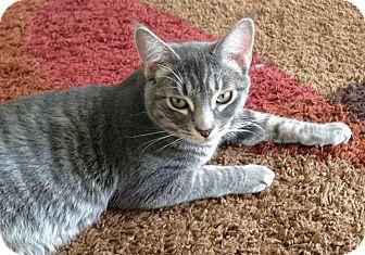 Domestic Shorthair Kitten for adoption in Harrison, New York - Jonah