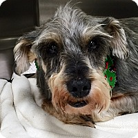 Adopt A Pet :: Tia - Oswego, IL