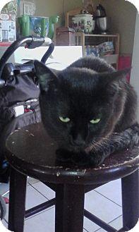 Domestic Shorthair Cat for adoption in Alhambra, California - Bella