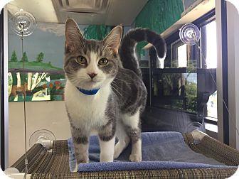 Domestic Shorthair Cat for adoption in Battle Creek, Michigan - Brady