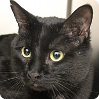Domestic Mediumhair Cat for adoption in Las Vegas, Nevada - *CHASE
