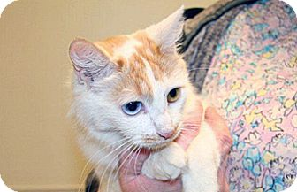 Domestic Shorthair Cat for adoption in Wildomar, California - Cheyene