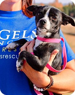 Chihuahua Mix Dog for adoption in Alpharetta, Georgia - Coweta