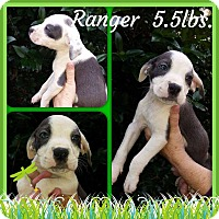 Labrador Retriever/Hound (Unknown Type) Mix Puppy for adoption in Shaw AFB, South Carolina - Ranger