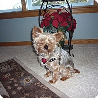 Yorkie, Yorkshire Terrier Dog for adoption in Big Bend, Wisconsin - Reeses