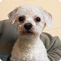 Adopt A Pet :: Ringo - Santa Maria, CA