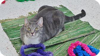 Domestic Shorthair Cat for adoption in Chambersburg, Pennsylvania - Shiba