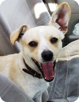 Corgi/Chihuahua Mix Dog for adoption in El Cajon, California - BUGSY