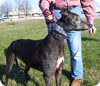 Greyhound Dog for adoption in Fremont, Ohio - Ritchie