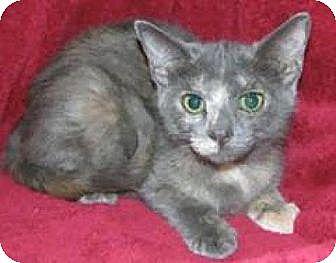 Domestic Mediumhair Cat for adoption in Miami, Florida - Kaitlin