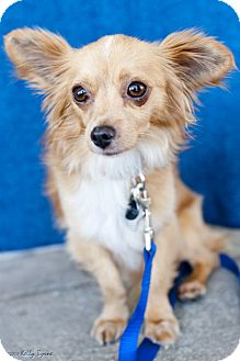 Chihuahua/Terrier (Unknown Type, Small) Mix Dog for adoption in Studio City, California - Leo