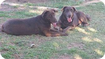 Labrador Retriever Mix Dog for adoption in Odessa, Texas - Bullet