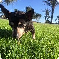 Adopt A Pet :: Poppa / Chupalupa - Encino, CA