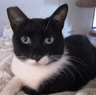 Domestic Shorthair Cat for adoption in Pasadena, California - Pierre