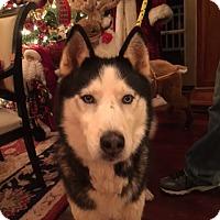 Adopt A Pet :: Han Solo - Roswell, GA