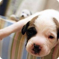 Adopt A Pet :: Luke Skywalker - Greensboro, NC