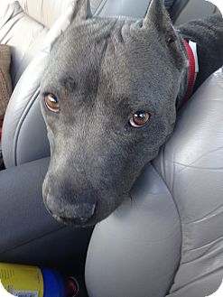 American Pit Bull Terrier/Staffordshire Bull Terrier Mix Dog for adoption in Phoenix, Arizona - Shiloh