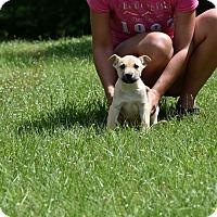 Adopt A Pet :: Panzer - Groton, MA