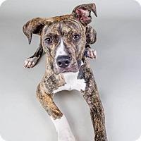 Adopt A Pet :: Noodle - CP (HPR) - Livonia, MI