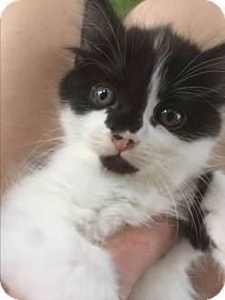 Domestic Longhair Kitten for adoption in Burlington, Ontario - Audrey Hepburn