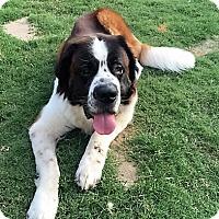Adopt A Pet :: Buster - McKinney, TX