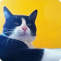 Domestic Shorthair Cat for adoption in River Falls, Wisconsin - Banjo