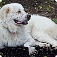 Adopt A Pet :: Comet Ward LGD - Kyle, TX