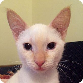 Siamese Kitten for adoption in Fairfax, Virginia - Squirtle