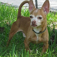 Adopt A Pet :: Chico - Sanford, FL