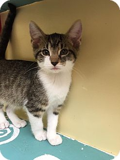 Domestic Shorthair Kitten for adoption in Maryville, Missouri - Stormy