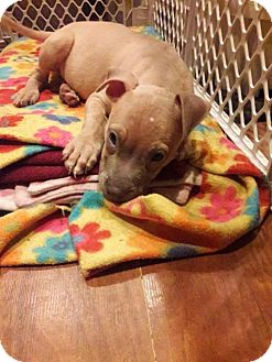 Boxer/Pit Bull Terrier Mix Puppy for adoption in Centerburg, Ohio - Kong