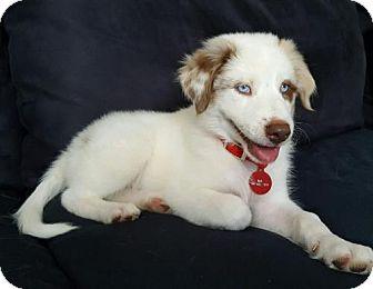 Collie Mix Dog for adoption in Royal Palm Beach, Florida - Crisp