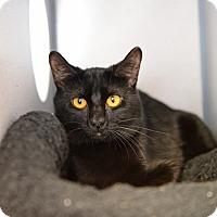 Adopt A Pet :: Midnight - Gardnerville, NV