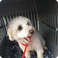 Adopt A Pet :: Jewel aka Julie - Las Vegas, NV