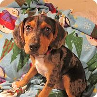 Adopt A Pet :: Bentley - Foster, RI