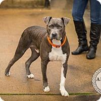Adopt A Pet :: Boo Bear - Munford, TN
