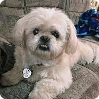 Adopt A Pet :: Elsie/Shih Tzu - Jacksonville, FL